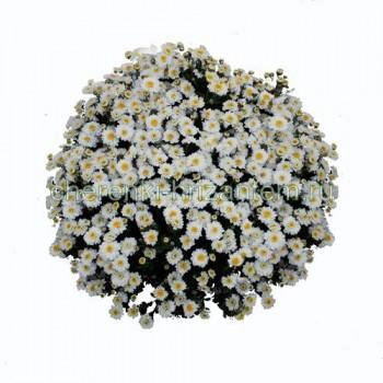 Хризантема Мультифлора №34 Elfie White (Элфи Вайт)