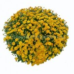Хризантема Мультифлора №33 Gigi Gold (Джиджи Голд)