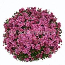 Хризантема Мультифлора №37 Rose Garden (Роуз Гарден)