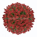 Хризантема Мультифлора №35 Ursula Red (Урсула Ред)