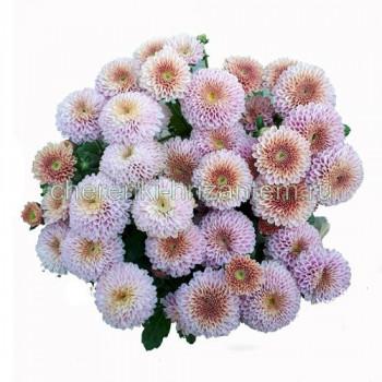 Хризантема Мультифлора №29 Doria Pink (Дория Пинк)