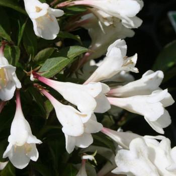 Вейгела цветущая Блэк энд вайт (Black and White)