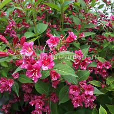 Вейгела цветущая Бристоль Руби (Bristol Ruby)