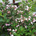Вейгела цветущая Полька (Polka)