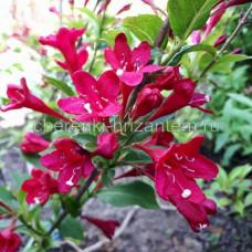 Вейгела цветущая Ред Принц (Red Prince)