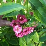 Вейгела цветущая Бригела (Brigela)