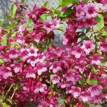 Вейгела цветущая Румба (Rumba)